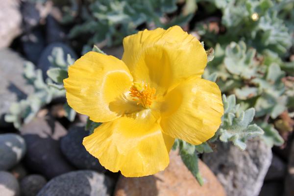 MNA Trefor Yellow Poppy