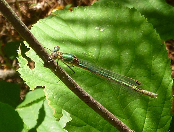 29 Delemere Emerald damselfly