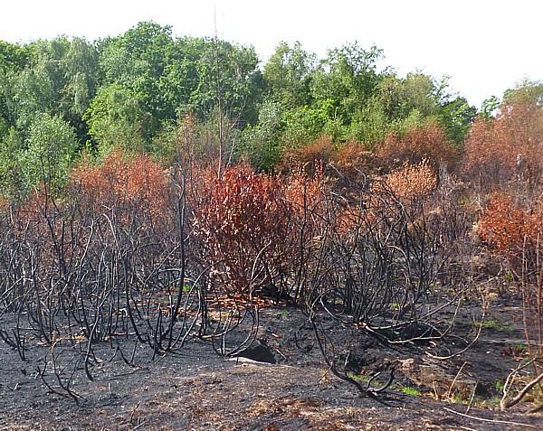 30 Bidston burnt gorse