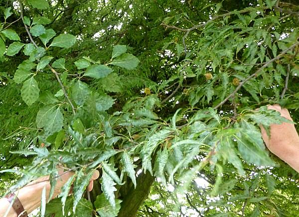 30 Bidston cut leaved beech