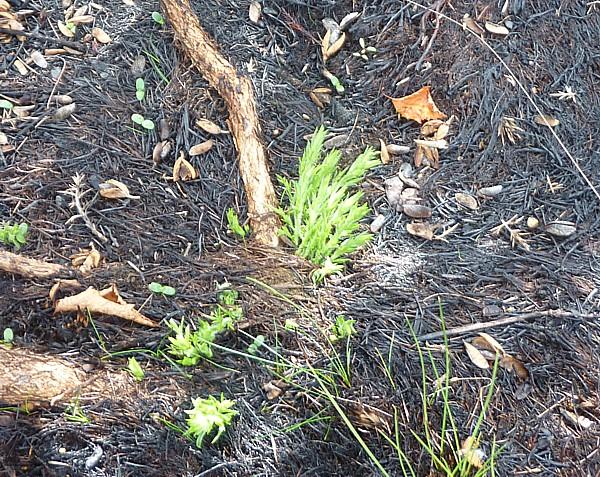 30 Bidston gorse regrowing