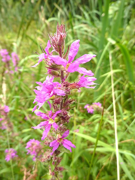 31 Orrell purple loostrife
