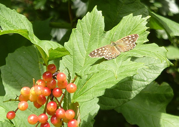 31 Orrell speckled wood