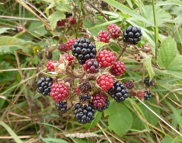 31 Speke blackberries