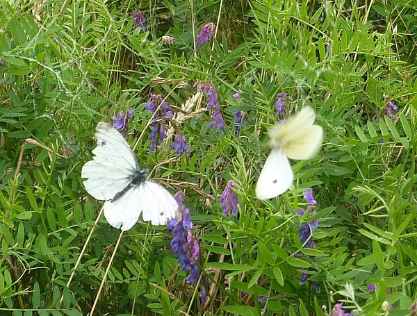 32 Speke butterflies