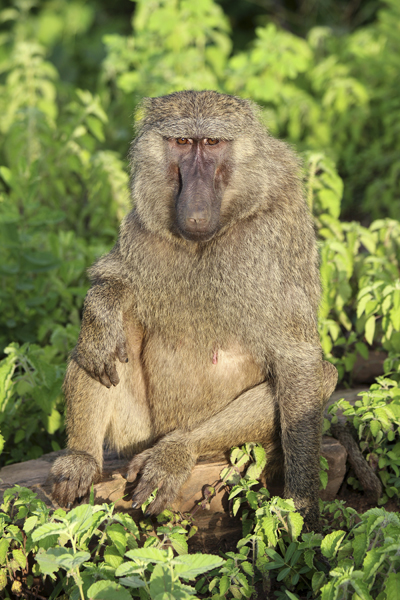 MNA Ghana Baboon1