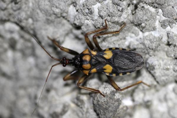 MNA Ghana Bug2