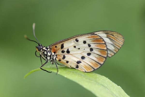 MNA Ghana Butterfly1