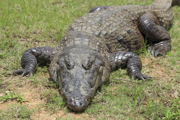 MNA Ghana Crocodile1