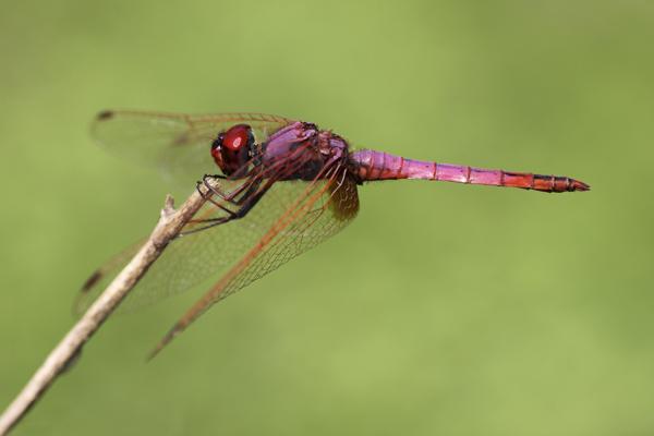 MNA Ghana Dragonfly1