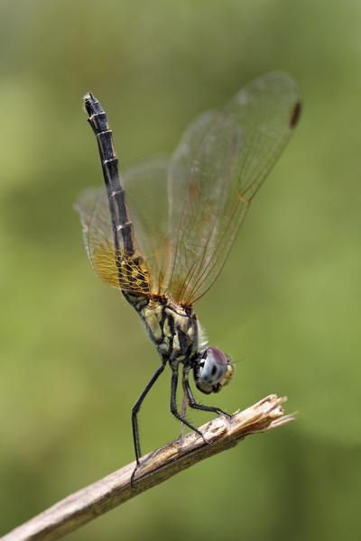 MNA Ghana Dragonfly3