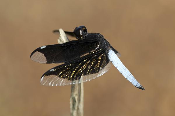MNA Ghana Dragonfly4