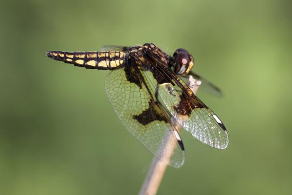MNA Ghana Dragonfly6