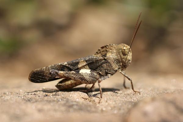 MNA Ghana Grasshopper3