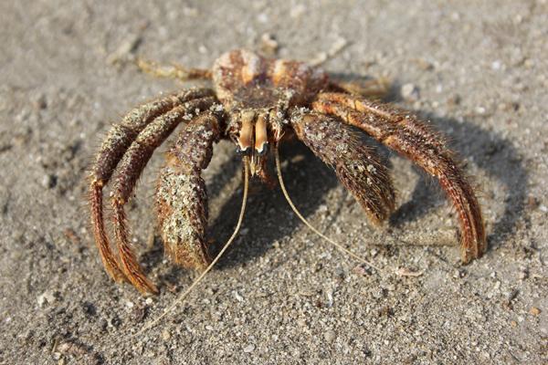 MNA Ghana Hermit Crab1
