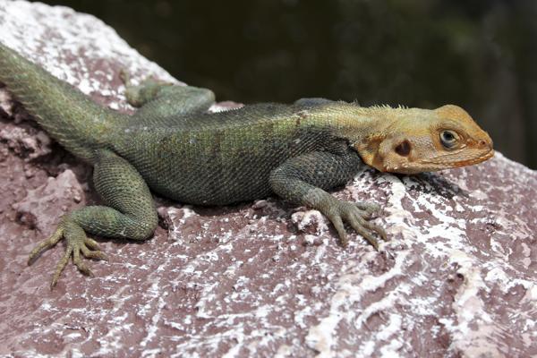 MNA Ghana Lizard1