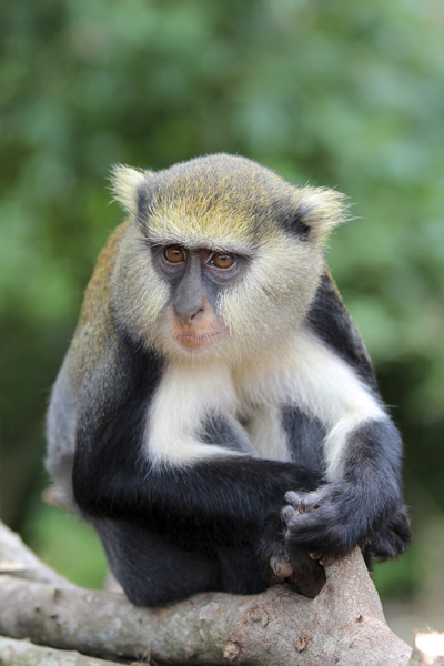 MNA Ghana Mona Monkey1