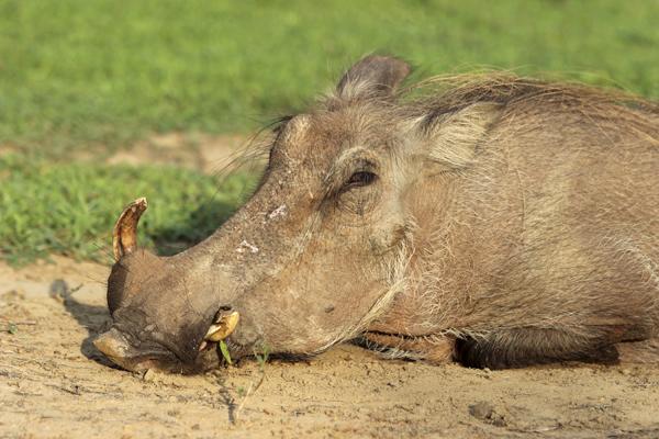 MNA Ghana Warthog1