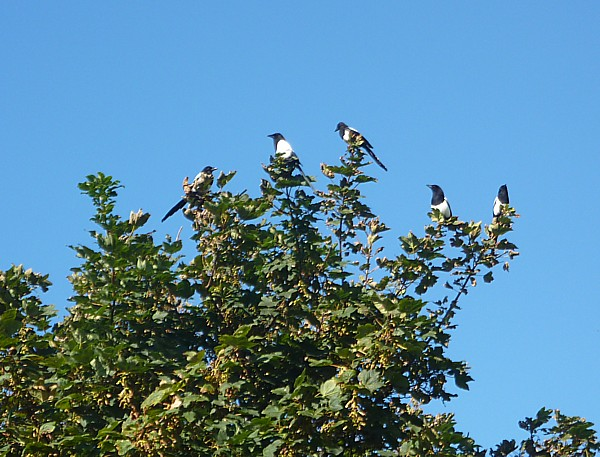 34 Crosby Magpies