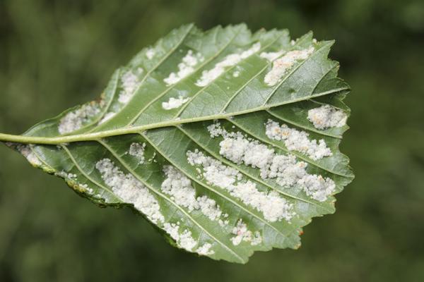MNA Alder Leaf Gall Mite1
