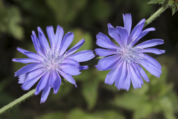 MNA Fairburn Ings Chicory1