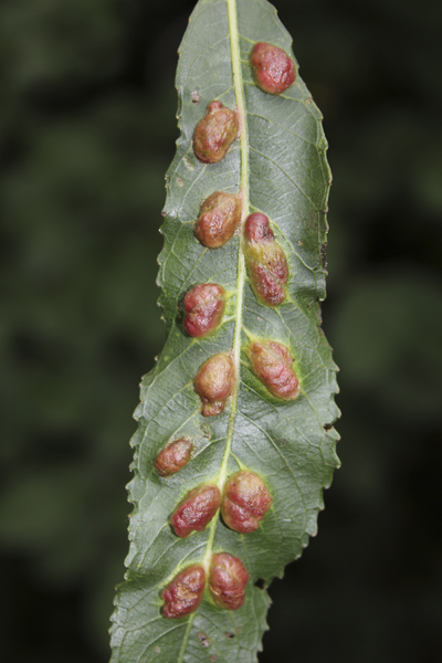 MNA Willow Leaf Gall1