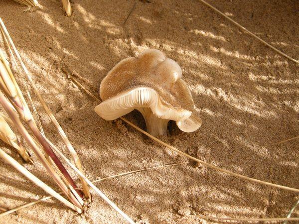 Melanoleuca cinereifolia a