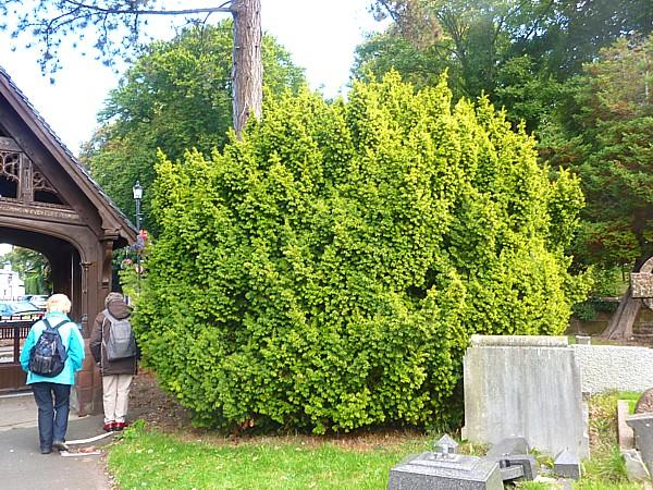 35 Eastham jubilee yew