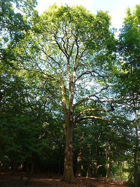 35 Eastham prime oak