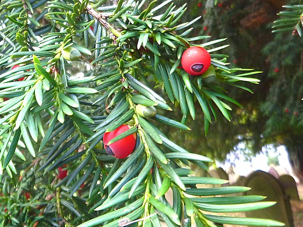 35 Eastham yew berries