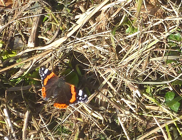 37 Canal 6 Red Admiral