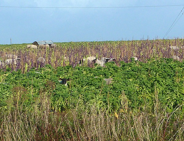 37 Canal 6 Sheep in kale