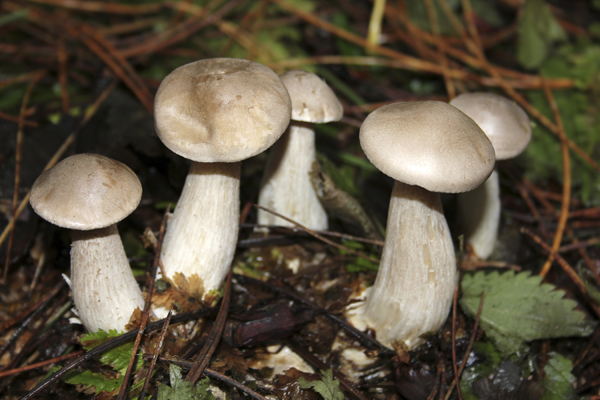 MNA Ainsdale Clouded Agaric1