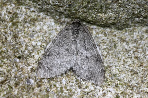 MNA Carsington Grey Moth1