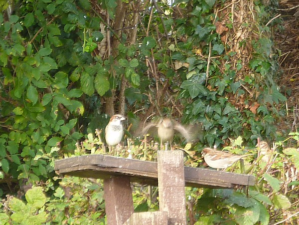 40 Pasture Sparrows