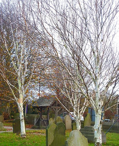 42 Sefton Himalayan birch