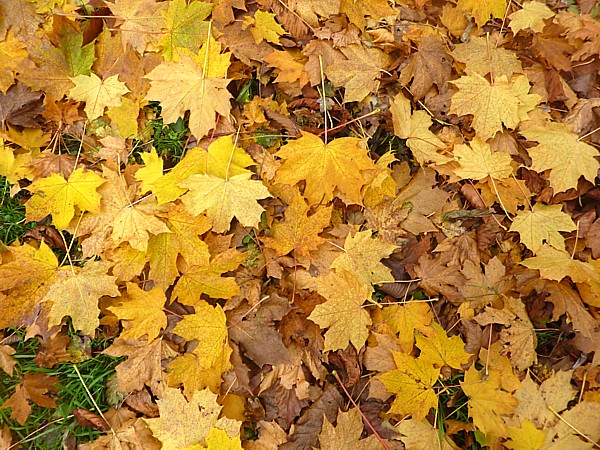 42 Sefton yellow leaves