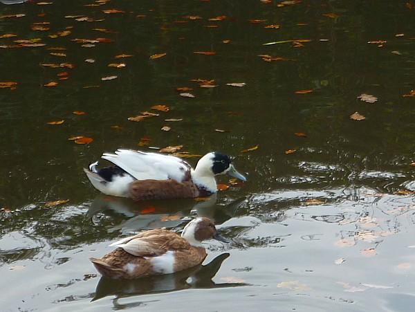 43 Canal 8 odd ducks