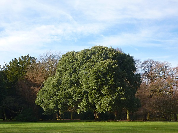 45 Croxteth Lucombe oak