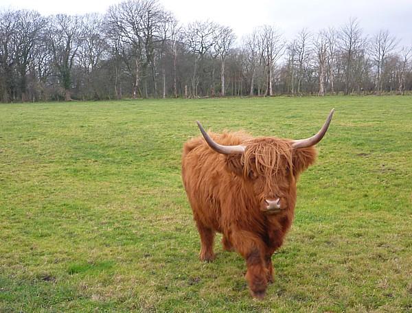 45 Croxteth highland cow