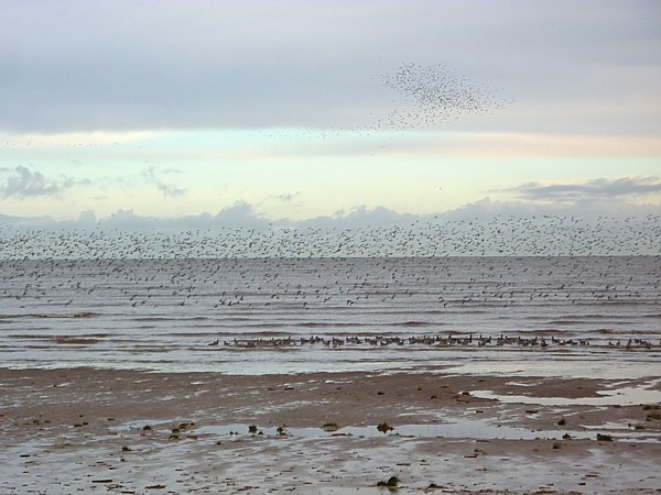01 Hoylake flying flocks