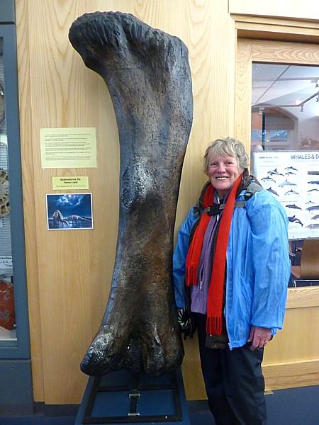 03 Museum Apatosaurus femur