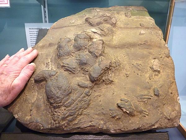 03 Museum Chirotherium footprint