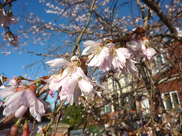 05 Birkenhead Park blossom