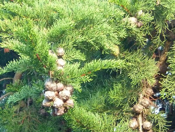 05 Birkenhead Park cypress