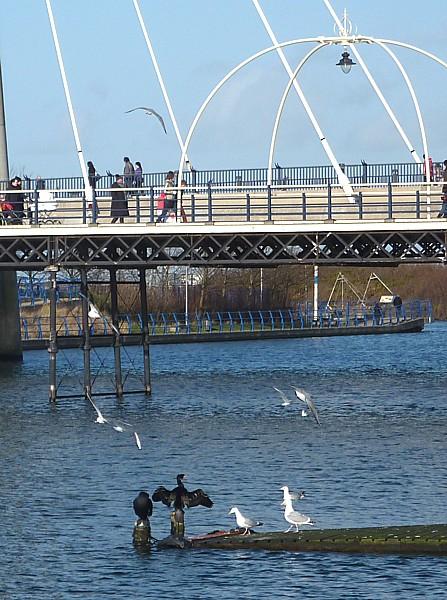 07 Southport cormorants