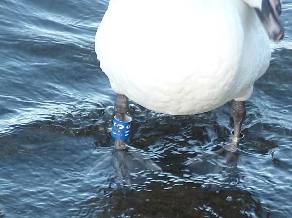 07 Southport swan leg ring