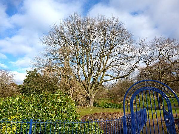 08 Sefton big tree