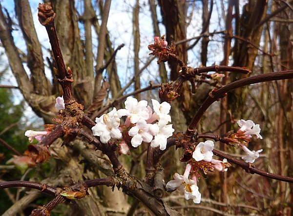 08 Sefton blossom