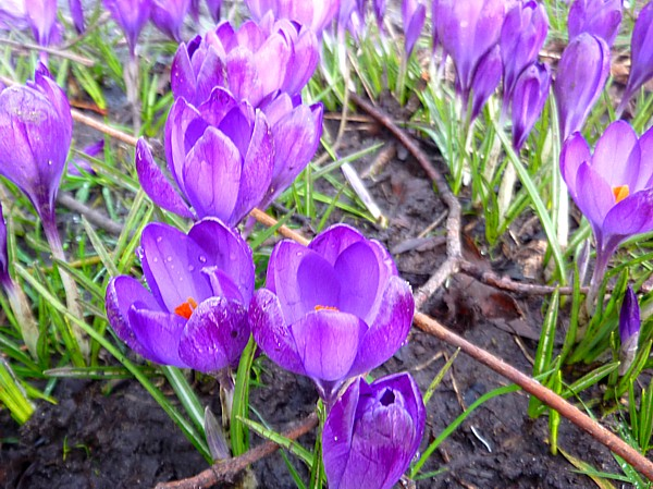 08 Sefton purple crocus